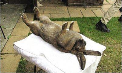 神奇英国兔子澳门正规博彩十大网站:几秒钟让兔子睡着